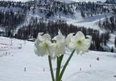 amaryllis et neige