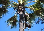 Récolte des noix de coco