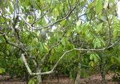 Cacaotier en République Dominicaine