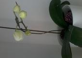 orchidée en voie de floraison