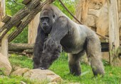 Gorille qui surveille !