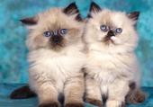 duo de chatons
