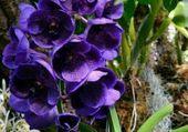 jolies fleurs bleues