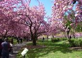 Puzzle Cerisiers en fleurs à New York