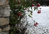 roses sous la neige