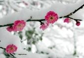 Fleurs sous la neige