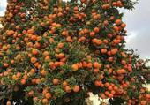 Je pense à un oranger