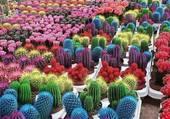 vente de cactus colorés