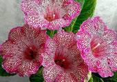 belles fleurs rosées