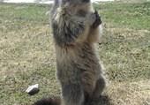 Puzzle Marmotte