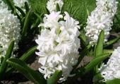 Jacinthe blanche