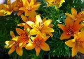 Jolies fleurs de lys