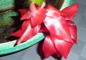 Fleur de cactus de Noël