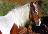 Le Potok, cheval du pays basque