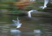 Vol de mouettes sur la Seine