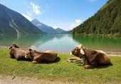 Les vaches au repos