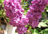 Grandes Fleurs de lilas