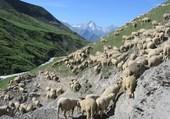 Puzzle Moutons Alpes
