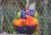 perroquets arc en ciel