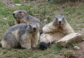 Marmottes au soleil.
