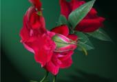 Coq rose
