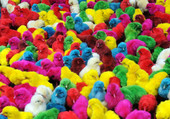 les petits poussin de couleur