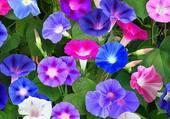 ipomées multicolores