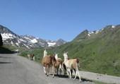 Puzzle Lamas Hautes Pyrénées