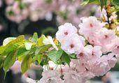Cerisier au Japon
