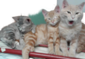Puzzle famille  chaton