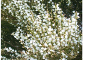 Genet blanc