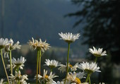 Fleurs à Zakopane, Pologne