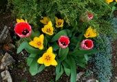 tulipe dans un jardin du Vaucluse