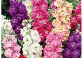 Giroflées multicolores