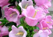clochettes roses