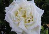 Rose de Doué la fontaine