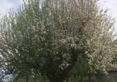 Arbre en fleurs à Oron