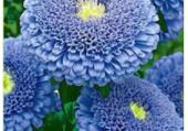 Zinia bleu