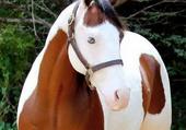 cheval aux yeux bleus