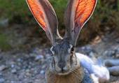 Lièvre aux grandes oreilles