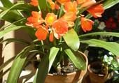 GLIVIA en fleurs