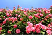 Champ de roses de mai