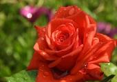 Une rose parmi tant d'autres ....