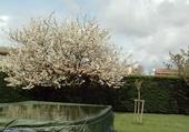 Cerisier fleur au printemps