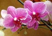 une orchidée de ma collection