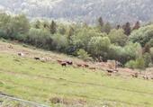 chèvres montagne