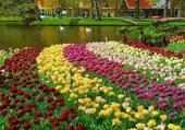 Beau parterre de tulipes
