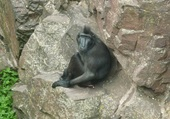 macaque noir