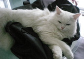 chat blanc relax