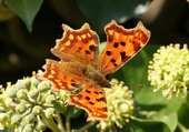papillon Robert le Diable